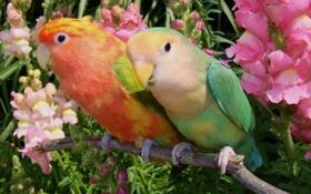 Картинка цветы, попугаи, парочка, неразлучники