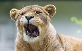 Обои кошка, львица, зевает, ©Tambako The Jaguar