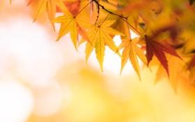 Картинка осень, листья, желтый, клен