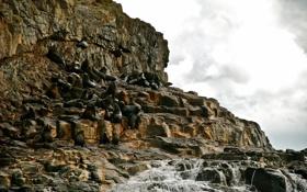 Картинка камни, Тасмания, новозеландские, морские, Австралия, котики