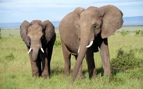 Картинка небо, трава, саванна, Африка, уши, слоны, хобот