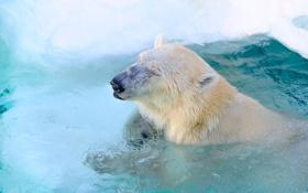 Картинка морда, хищник, бассейн, купание, белый медведь, зоопарк, полярный медведь