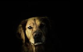 Обои взгляд, фон, собака