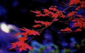 Обои осень, листья, ветка, клен