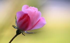 Обои роза, розовые, стебель, фон, лепестки, бутон