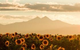 Картинка поле, лето, небо, горы, подсолнух, faded evening summer skies