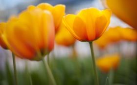 Картинка природа, весна, желтые, тюльпаны, много