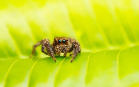 Обои зелень, макро, лист, паук, паучок
