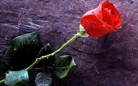 Картинка листья, капли, роса, роза, лепестки, стебель, бутон