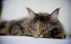 Картинка кошка, спит, лежит, трехцветная, пятнистая