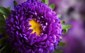 Обои цветок, астра, бутон, листики