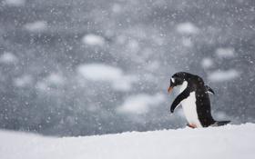 Обои птица, снег, пингвин