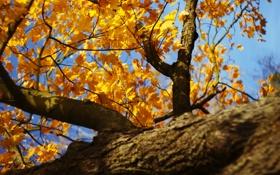 Обои листья, осень, день, клен, природа, солнце, дерево