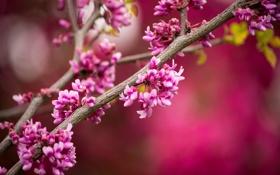 Картинка цветение, цветы, ветки, розовые, дерево