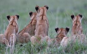 Обои трава, кошки, котята, львята, спины, детёныши