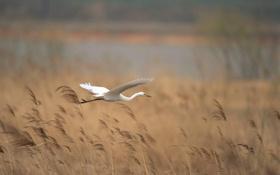 Обои птица, река, колосья, цапля, полёт