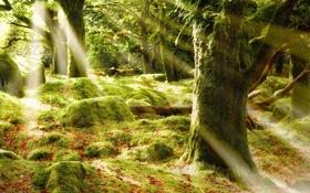 Обои лес, лучи, деревья, блики, листва, мох, солце