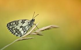 Обои бабочка, травинка, колосок, Melanargia Galathea