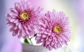 Обои хризантемы, розовые, цветы