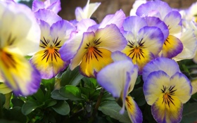 Обои цветы, лепестки, анютины глазки, виола