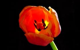 Обои макро, лепестки, фон, тюльпан