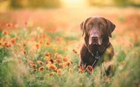 Обои взгляд, друг, собака, labrador