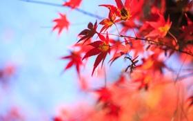 Обои листья, осень, крона, небо, клен, дерево, красный