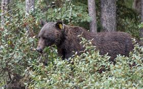 Картинка природа, медведь, Grizzly