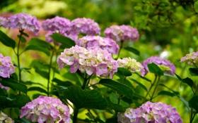 Обои листья, куст, цветение, гортензия, лепестки, цветы