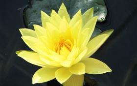 Обои цветок, желтый, природа, лотос