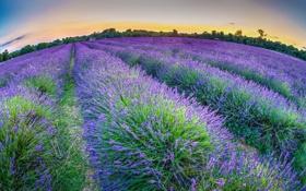 Обои Lavender, South London, Mayfield Lavender Farm