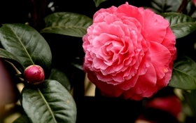 Обои розовая камелия, pink Camellia, flowers, цветы
