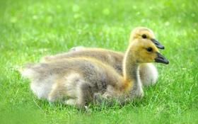 Обои grass, травка, милашки, cutie, маленькие утята, small ducklings