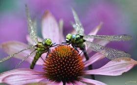 Картинка цветок, макро, роса, утро, пара, стрекозы
