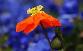 Обои цветок, мак, лепестки, стебель