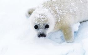 Обои снег, тюлень, смотрит, беляк