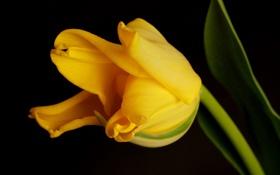 Обои цветок, желтый, тюльпан