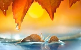 Картинка листья, вода, две, капля, улитки