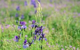 Картинка поле, лето, трава, цветы, ирисы