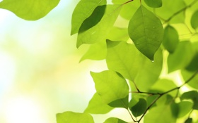 Обои природа, весна, листья