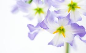 Обои цветок, макро, цветы, нежность, светлый