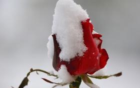 Картинка цветок, снег, роза, бутон, красная