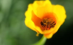 Обои цветок, пчела, насекомое, лепестки