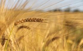 Картинка поле, природа, растение, колос, урожай, злак