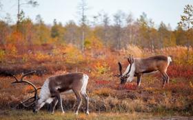 Картинка осень, природа, олени