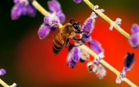 Обои растение, насекомое, пчела, цветок