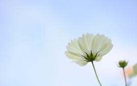 Обои белый, цветок, макро, лепестки