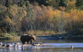 Картинка лес, деревья, птицы, река, животное, обои, медведь