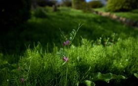 Обои полевые цветы, зелень, трава, хвощ, горошек