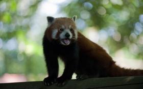 Обои язык, усы, панда, хвост, когти, мех, уши